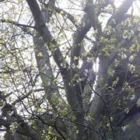マリエント駐車場の石割桜