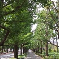 日吉のいちょう並木