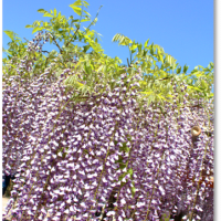 ◆ 春日部・牛島の藤 NO.1 ◆