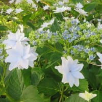 紫陽花「隅田の花火」 6