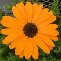 ディモルフォセカの花は