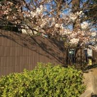 今年の横須賀高校正門前のさくら