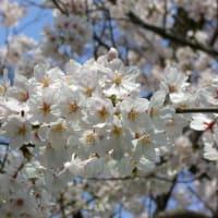 2008年近所の桜