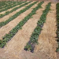 [550]かぼちゃ栽培2019…麦わら敷いた。