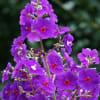 夏~秋の花:大葉紫紺野牡丹