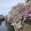 大岡川の桜 2021 その3