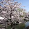 桜めぐり2015 伏見・十石船