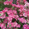 雨が降る前に ルピナス イロマツヨイグサの花 消えてしまったトマトの苗