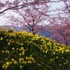 早春・上関城山歴史公園の河津桜 190217