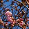 春の訪れを感じます・・・市ノ坪公園の河津桜