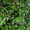 テイカカズラ、ハクチョウゲ、ババシロアシマルハバチ