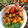ロバくんとミニトマトを収穫したよ