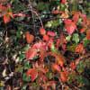 ブラックベリーの紅葉