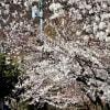 2020・4・12 須坂市・田中本家博物館と普願寺の桜満開