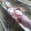 自然卵養鶏