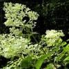 庭の花木(7月)ノリウツギ、コムラサキ、ハイビスカス、他