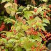 ジュズサンゴ(赤い実・黄葉・種)&ウメモドキ&スズラン