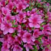 紫陽花・・・咲き始めました。七変化~