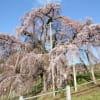 2013年三春滝桜・三春桜