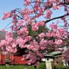 静かな上野公園の桜