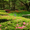 初夏の兼六園  カキツバタとサツキ 梅園と放生池のコウホネ