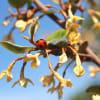 樹に咲く花 (49) ナツグミ、アキグミ