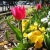 三ツ池公園へお花見散歩