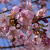 相州 松田山の春