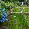 本土寺の紫陽花と菖蒲田