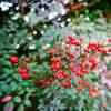 ナンテン、シモバシラ、ブラシノキ(赤塚植物園 2021.1.16 撮影)