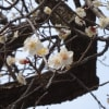 梅の花・・・・散歩の途中で、神社境内