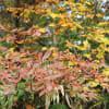 栂池自然公園 紅葉まっさかり