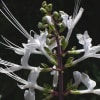 ネコノヒゲ・サルビアなど - 唇形花