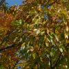 クヌギ(櫟、椚、橡)