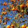 柿の実色した水曜日、、、(^_^)