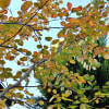 11月17日の庭<わが家の紅葉>