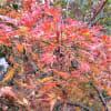 とにかく真っ赤!庭の紅葉で染まれっ!