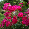 ソバの花、ジャガイモの花、薔薇の花・・・家庭菜園にて~