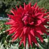 2015年黒川ダリア園の花で作成