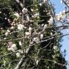 白梅香り咲く
