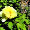 庭の花木(4月-3)黄色いボタンが咲いた。ウツギ、ヒメウツギ、ツツジ、他