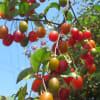 可愛いグミが鈴生り (近所の樹木、常緑ヤマボウシ、タイリンキンシバイ、カシワバアジサイなど)