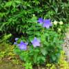 初夏の白鳥庭園・1