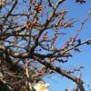 1月の庭の花  梅 水仙 ビオラ すみれ