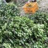 ローレルの収穫