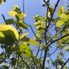 庭のさくらんぼ
