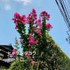 もう百日紅(サルスベリ)の花が咲いて居ました。