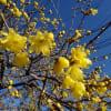 冬の庭に彩をつけてくれます・・・ロウバイの花