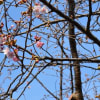 河津桜&土肥桜と富士山