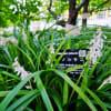 ノシラン、ジャノヒゲ、シモバシラ・・・(赤塚植物園 2020.9.5 撮影)
